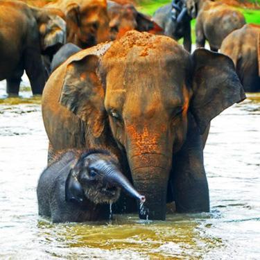 pinnawala-elephant-orphanag